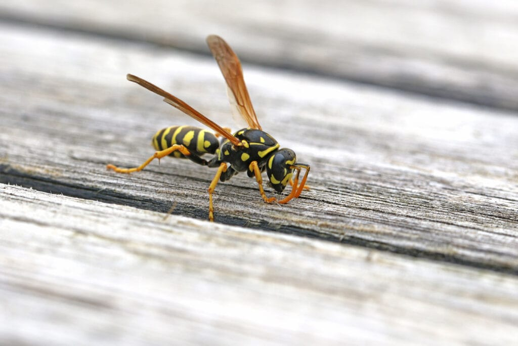 wasp sitting on a wooden table