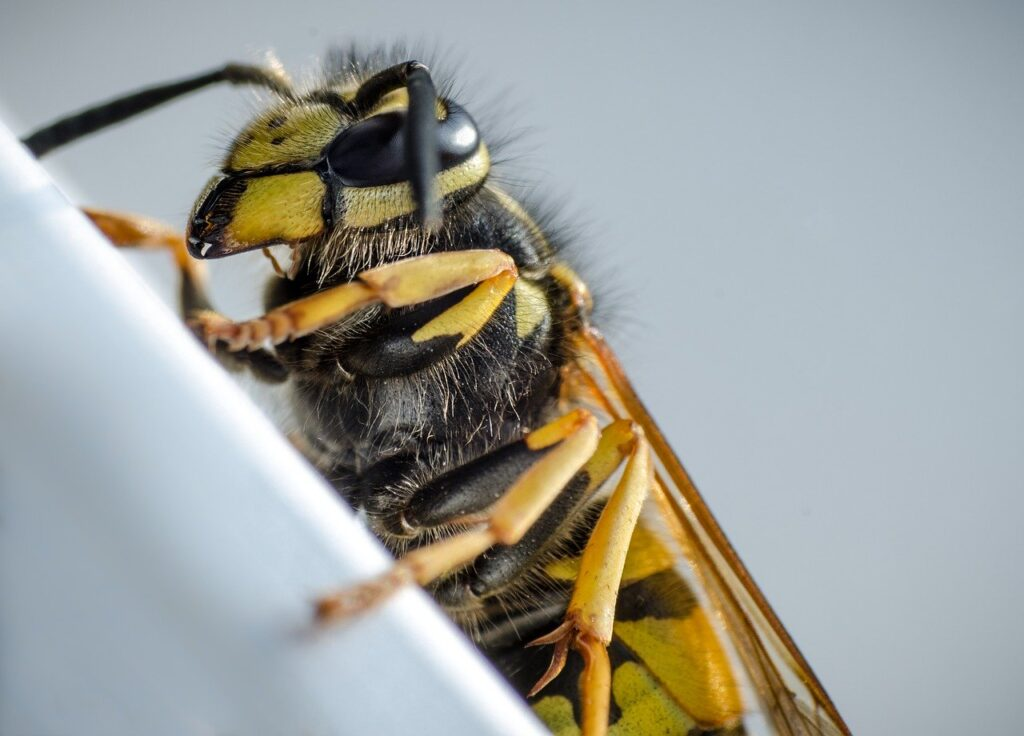 upclose of a wasp